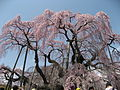 Takizakura, Miharu - panoramio.jpg