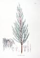 Tamarix chinensis SZ71.png