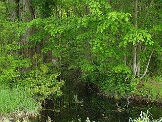 Tanyard Branch (Marshyhope Creek tributary) Stream in Delaware, USA
