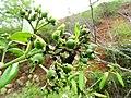 Tarenna asiatica - Asiatic Tarenna 09.jpg