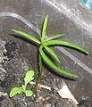 Taxus baccata seedling.jpg