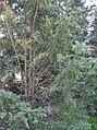 Taxus cuspidata.jpg