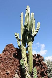 <i>Pachycereus pecten-aboriginum</i> species of plant