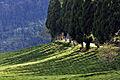 Temi Tea Garden Sikkim India October 2013.jpg