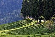 Temi Tea Garden Sikkim India October 2013