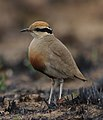 Temminck's courser, Cursorius temminckii, at Pilanesberg National Park, Northwest Province, South Africa (44060175235).jpg