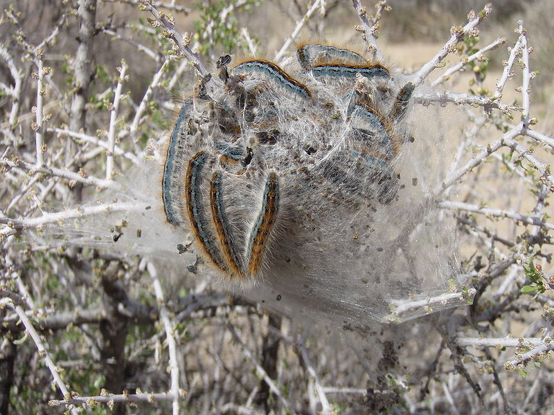File:Tent caterpillar original.jpg