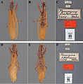 The-type-material-of-Mantodea-(praying-mantises)-deposited-in-the-National-Museum-of-Natural-zookeys-433-031-g013.jpg
