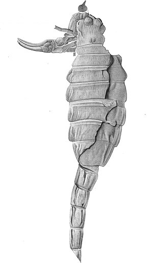 Scorpion - Proscorpius osborni, fossil scorpion initially thought to be a eurypterid