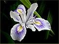 The Iris. (9303473541).jpg