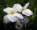 The Iris (21) (8096402323).jpg