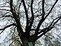 The Oak 300 years old.Crown.jpg