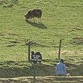 The World Famous Tartan Sheep. Auchingarrich Wildlife Centre - geograph.org.uk - 1246974.jpg