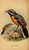 The birds of South Africa (1875) (20391176751).jpg