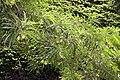 Thevetia peruviana 17zz.jpg