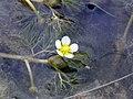 Thread-leaved water-crowfoot (Ranunculus trichophyllus), Heartwood Forest (28361384525).jpg