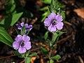 Three Dyschoriste oblongifolia flowers.jpg