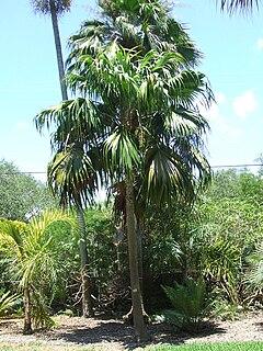 <i>Thrinax excelsa</i> Species of palm