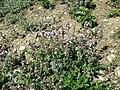 Thymus odoratissimus sl41.jpg