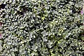 Thymus serpyllum Elfin 0zz.jpg