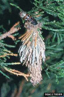 Evergreen bagworm