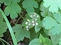 Tiarella trifoliata.jpg