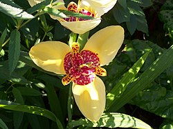 Tigridia flower 001.jpg