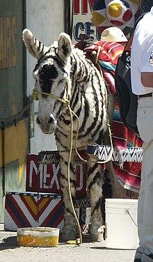 Tijuana Zebra - Wikipedia