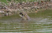 Een krokodil in Guatemala eet een slang.