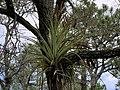 Tillandsia fasciculata at Naples preserve.jpg