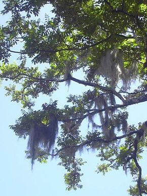 Tillandsia usneoides wikip dia - Mousse sur les arbres ...