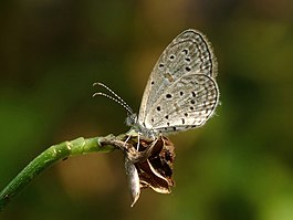 Tiny Grass Blue Zizula hylax by kadavoor.JPG