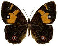 Tisiphone abeona (ento-csiro-au).jpg