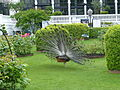 Tivoli - Indian peafowl 03.JPG