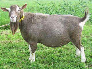 Toggenburg goat goat