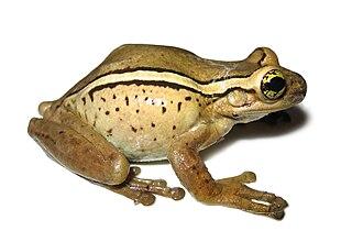 Porto Alegre golden-eyed tree frog - Image: Trachycephalus mesophaeus 02