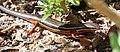 Trachylepis homalocephala00.jpg
