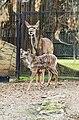 Tragelaphus strepsiceros Dvur zoo 4.jpg