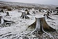 Tree Stumps - geograph.org.uk - 633979.jpg