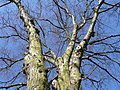 Tree canopy in winter - geograph.org.uk - 673386.jpg