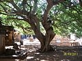 Tree inside Mahakuta Temple Complex - panoramio.jpg
