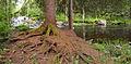 Tree root and Rutajoki.jpg