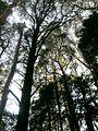 Trees at Otway National Park (494350836).jpg