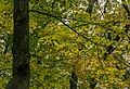 Trees turning yellow, autumn at Nerstrand MN (29252102120).jpg