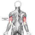 Triceps brachii az.PNG