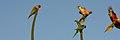 Trichoglossus moluccanus in flight.jpg