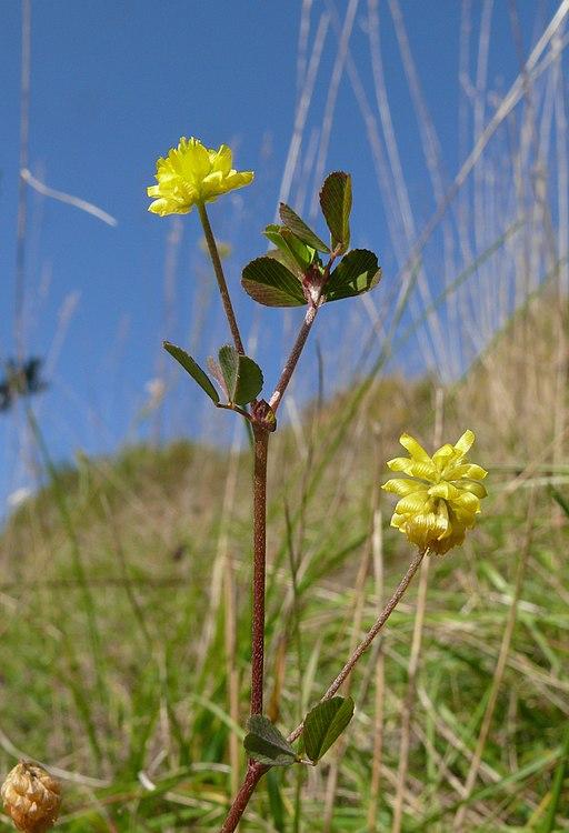 Trifolium campestre 300907