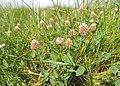 Trifolium fragiferum kz04.jpg