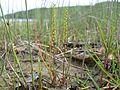 Triglochin striata plant5 - Flickr - Macleay Grass Man.jpg