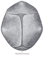 Dreiecksschädel